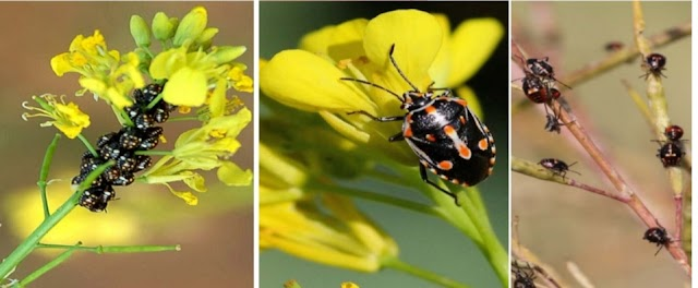 Mustard Pests and their Management by agrifunda