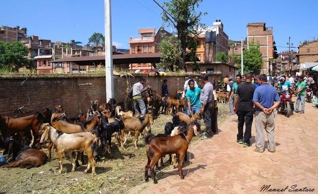 Bhaktapur, mercato di capre nei pressi del fiume Hanumante