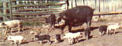 Escuela granja suinicultura