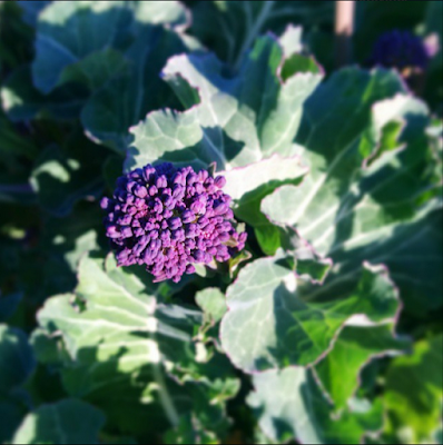 purple sprouting broccoli - 'growourown.blogpot.com'
