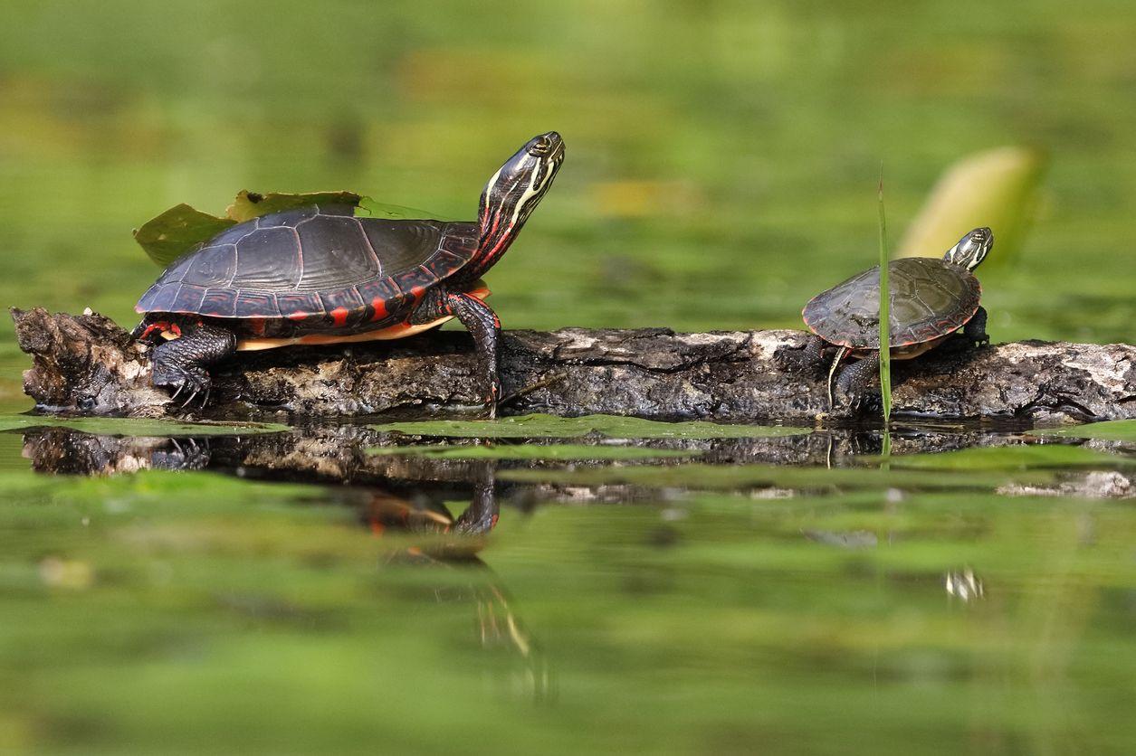 kura-kura bernafas dengan