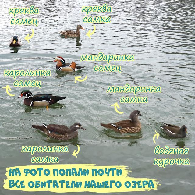 утки в Гагаринском парке, Симферополь