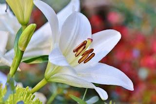 bunga bakung