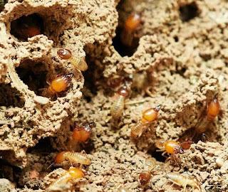 gambar Cara umtuk mengusir rayap dirumah dengan cepat dan efektif
