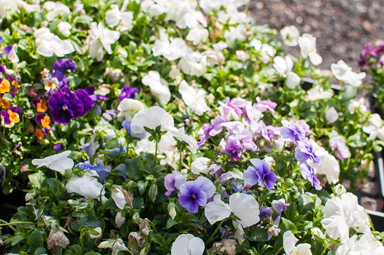 purple pansies, purple pansy, light purple pansy, white pansy