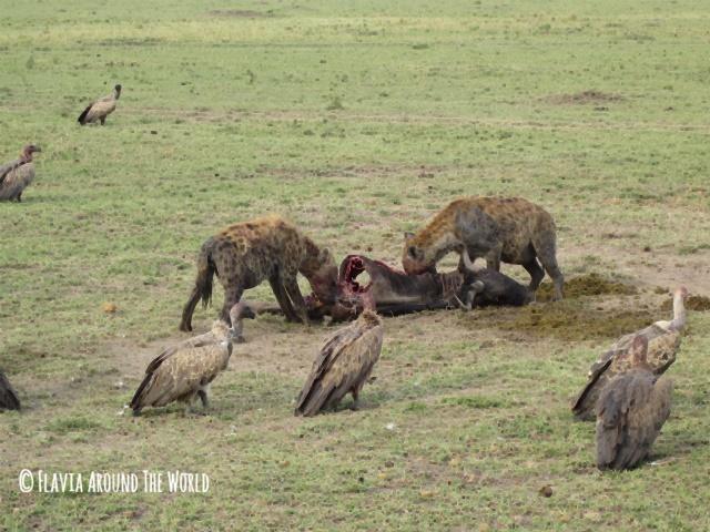 Hienas devorando carroña en Masai Mara