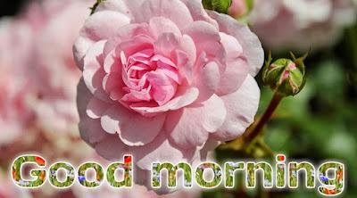 Good morning flowers pic good morning Rose pic