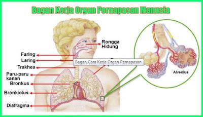 kunci jawaban halaman 19 kelas 5 tema 2 bagan organ pernapasan pada manusia