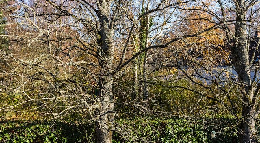 Barenaked maples