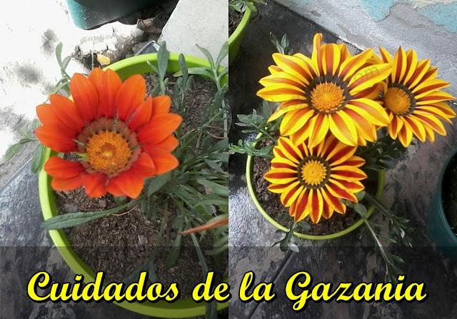 conoce a la gazania, una planta de hermosas flores similares a las