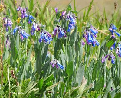 bluebell, Mertensia