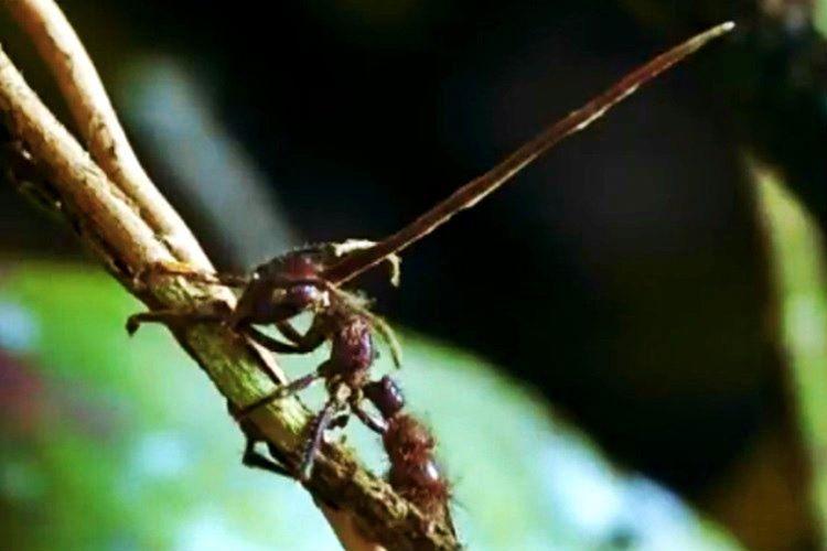 Kordiseps Mantarı 3 hafta içinde öldürdüğü karıncaların kafasından çıkar.