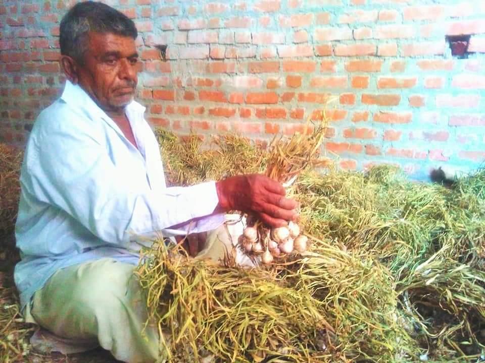 લાલ લસણની ખેતી કરતો ખેડૂત