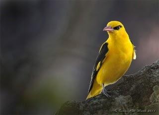 نتيجة بحث الصور عن طائر الصفارية