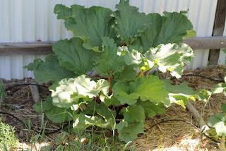 Healthy rhubarb
