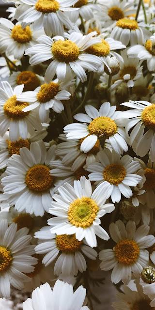 Những cánh hoa cúc họa mi trắng đại diện cho sự thơ ngây