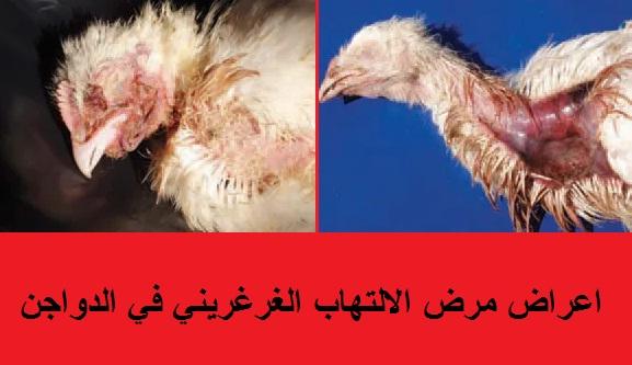 """""""ما هو الالتهاب الجلدي الغرغريني في الدواجن"""" """"العوامل التي تساعد على ظهورمرض الالتهاب الجلدي الغرغريني في الدواجن"""" """"الاعمار التي تصاب بمرض الالتهاب الجلدي الغرغريني في الدواجن"""" """"تشريح الطيور"""" """"اعراض امراض الطيور"""" - Gangerenous Dermatitis"""" """" """"امراض الدواجن"""" """"امراض الدواجن في الشتاء"""" """"امراض الدواجن الفيروسية"""" """"امراض الدواجن واعراضها"""" """"امراض الدواجن pdf"""" """"امراض الدواجن البكتيرية"""" """"امراض الدواجن في فصل الشتاء"""" """"امراض الدواجن البلدي"""" """"امراض الدواجن وطرق علاجها"""" """"امراض الدواجن الكلوستريديا"""" """"امراض الدواجن التنفسية"""" """"امراض الدواجن التنفسية وعلاجها بالاعشاب"""" """"امراض الدواجن وعلاجها سامي علام pdf"""" """"امراض الدواجن ppt"""" """"امراض الدواجن وعلاجها بالصور pdf"""" """"امراض الدواجن البلدى وعلاجها"""" """"امراض الدواجن حسب المرحلة العمرية"""" """"امراض الدواجن واعراضها بالصور"""" """"امراض الدواجن الفيروسية pdf"""" """"امراض الدواجن البياضة"""" """"امراض الدواجن اللاحم"""" """"امراض الدواجن البيضاء"""" """"امراض الدواجن البيضاء وعلاجها"""" """"امراض الدواجن الجلدية"""" """"امراض الدواجن المعدية للانسان"""" """"امراض الدواجن السالمونيلا"""" """"علاج امراض الدواجن ib"""" """"امراض الدواجن د فؤاد الشيخلي"""" """"امراض الدواجن h9"""" """"امراض دواجن pdf"""" """"امراض الدواجن وعلاجها pdf"""" """"اطلس امراض الدواجن pdf"""" """"دليل امراض الدواجن (pdf)"""" """"كتاب امراض الدواجن pdf"""" """"كتب امراض الدواجن pdf"""" """"امراض الدواجن بالصور pdf"""" """"موسوعة امراض الدواجن pdf"""" """"اهم امراض الدواجن pdf"""" """"تشخيص امراض الدواجن pdf"""" """"امراض الدواجن وعلاجها ppt"""" """"امراض الدواجن وعلاجها pdf سامي علام"""" """"كتاب اطلس امراض الدواجن pdf"""" """"اطلس تشريح امراض الدواجن pdf"""" """"كتاب عن امراض الدواجن pdf"""" """"امراض الدواجن سامي علام pdf"""" """"امراض الدواجن الشتاء"""" """"ما هي الامراض البكتيرية, التي تصيب الدواجن ,وطرق العلاج, بالصور ,والتشريح,"""" """"امراض الطيور"""" """"امراض الطيور وعلاجها"""" """"امراض الطيور في الشتاء"""" """"امراض الطيور الحمام"""" """"امراض الطيور المعديه للانسان"""" """"امراض الطيور التي تصيب الانسان"""" """"امراض الطيور وعلاجها pdf"""" """"امراض الطيور وعلاجها بالصور"""" """"امراض الطيور الكناري"""" """"امراض الطيور وطرق علاجها"""" """"امراض الطيور الجارحة"""" """"امراض الطيور pdf"""" """"امراض الطيور البادجي"""" """"امراض الطيور في الصيف"""" """"امراض الطيور من البراز"""" """"امراض الطيور الكوكتيل"""" """"امراض الطيور الدجاج"""" """"أمراض ا"""