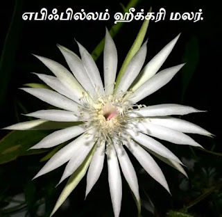 Epiphyllum hookeri