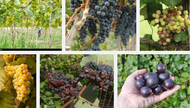 Growing grape in the tropics