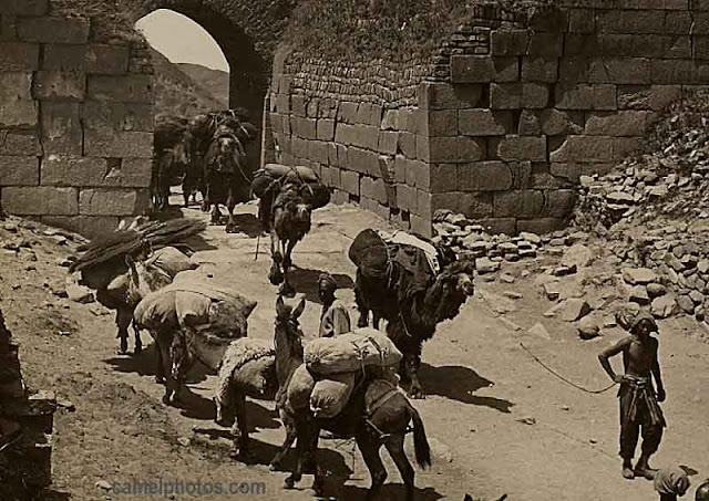 Camels and mules at a high pass on the border of China and Mongolia, early 20th Century