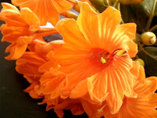 Flor Arbol Ciricote Yucatan