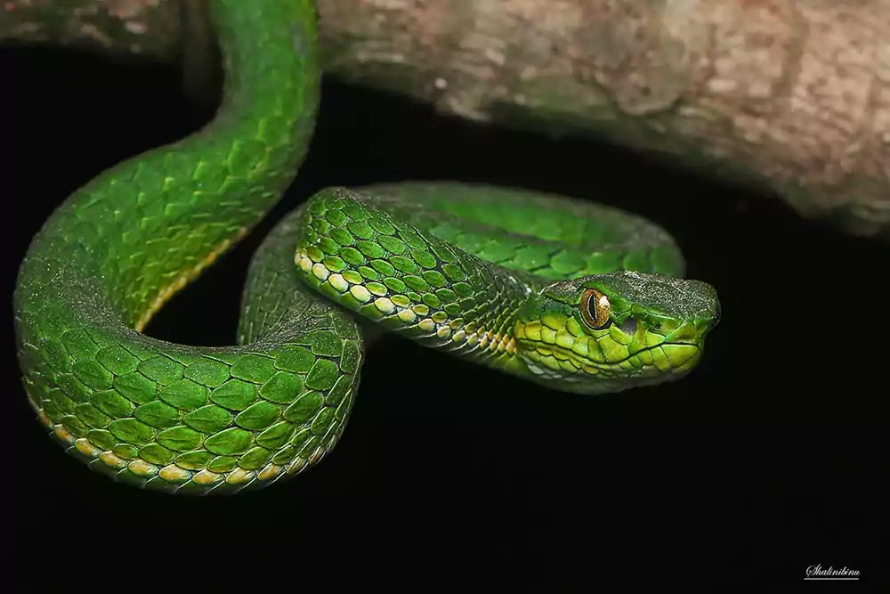 Large scaled Pit Viper from Munnar