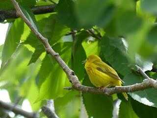 Paruline jaune - Motacilla petechia