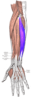 extensor carpi ulnaris muscles-by  www.learningwayeasy.com
