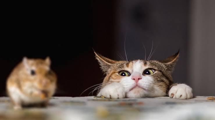 Sekilas Tentang Tikus dan Bolehkah Gunakan Lem Tikus sebagai perangkap