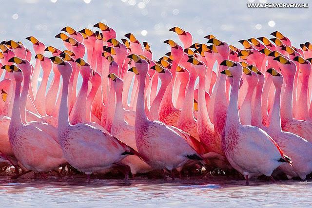 Szimbólumok/Állatszimbólumok: Flamingó