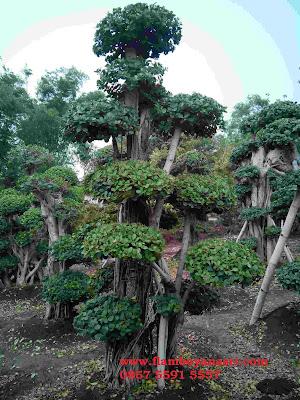 Jasa Tukang Taman Surabaya Tanaman Hias bonsai dolar