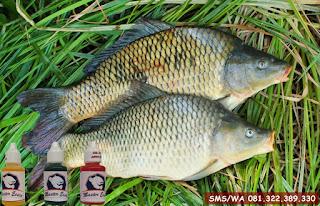 Essen Untuk Ikan Mas Subang