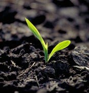 Seedling in soil