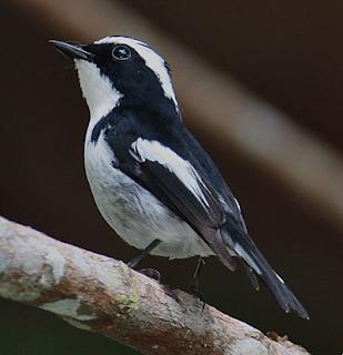 Suara burung sikatan belang