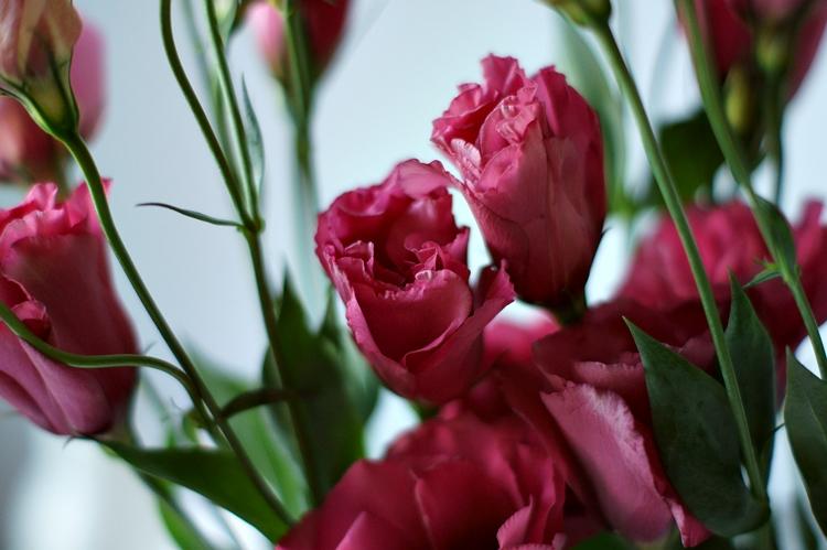 beerenfarbene Blütenkelche vom Prärieenzian { by it's me! }