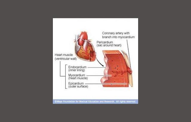 Epicardium, Myocardium, Endokardium