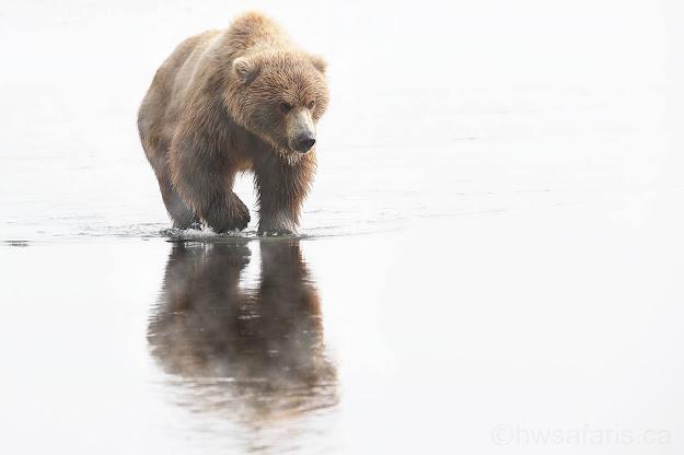 Brown bear walking through fog