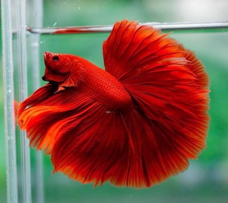 Image Red Betta Fish 1