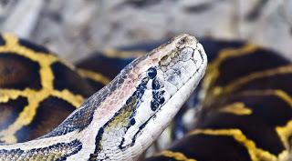 6. Burmese Python (Python molurus bivittatus)- 5.74 meters (18.7 ft.)