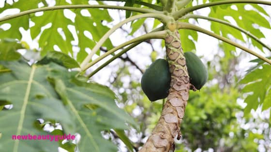 18 Benefits of Papaya Leaves