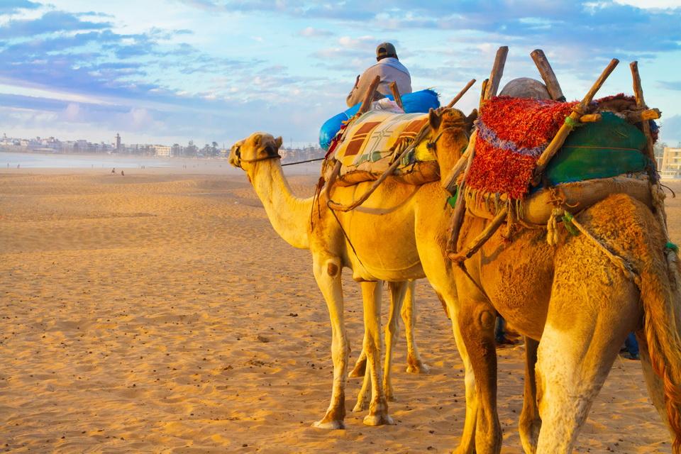 Camel caravan at the beach of Essaouira, Morocco
