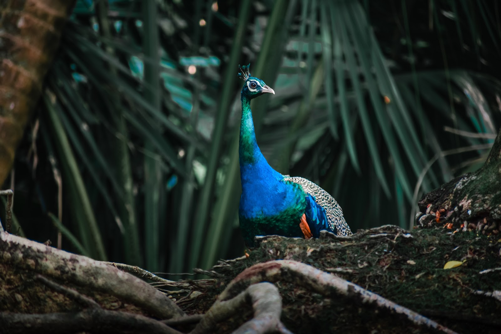 blue-and-green-peacock-images