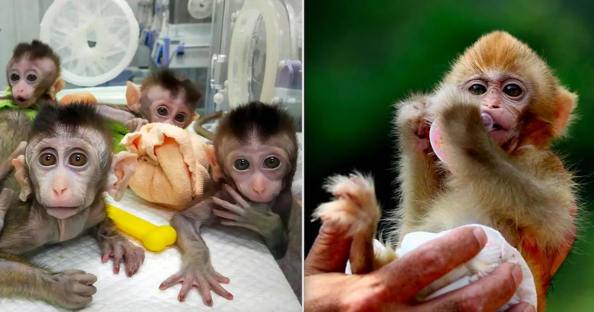 Scientists Accused Of 'Playing God' After Injecting Monkeys' Brains With Human Genes Resulting In Potentially Super-Intelligent Primates