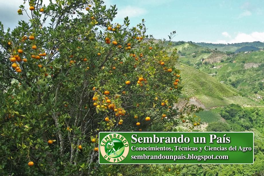 árbol de mandarina cargado