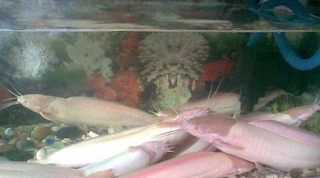Ikan Lele Albino