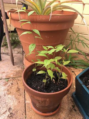 Baby Plum Trees