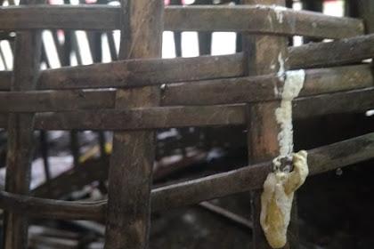 8 Hari Ayam Sembuh Dari Penyakit Berak Hijau dan Kapur, Begini Cara Mengobatinya!
