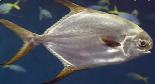 Gambar Ikan Bawal Putih