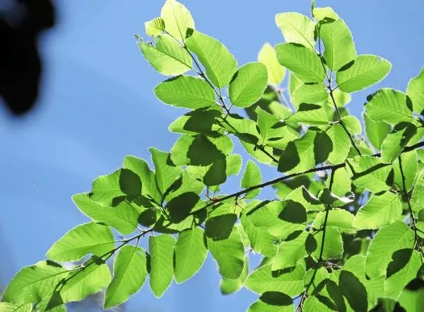 El ruil, árbol endémico de Chile, está en riesgo por culpa del pino y del maqui