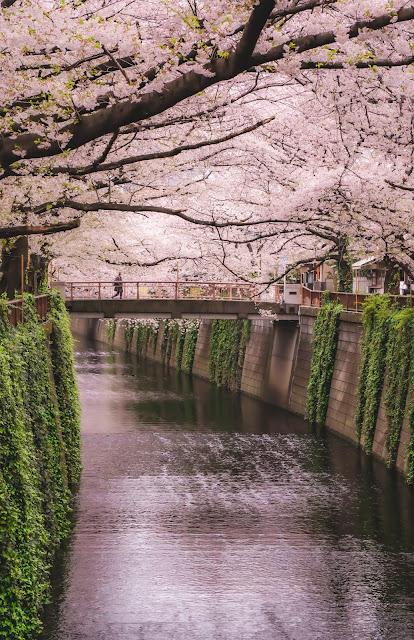 目黒川,桜,親指AF